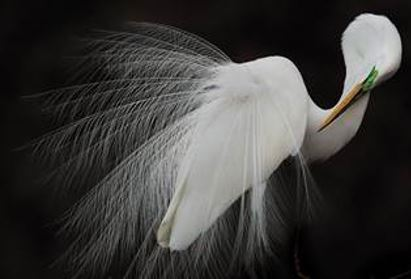 Great Egret photograph by Melissa Groo